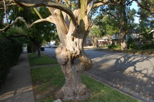What a great old tree!