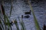 Ducks on Creekside Marsh